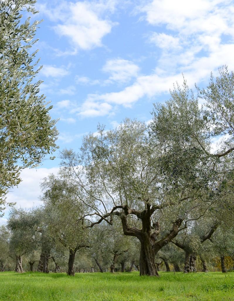 PR Bild Sotiris BIO-Olivenhain © Epikouros